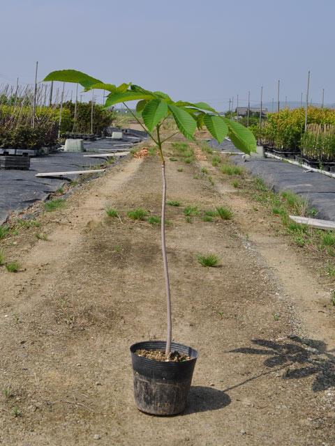 トチノキ 0.6m15cmポット 10本セット 送料無料【1年間枯れ保証】【街路樹&公園樹】