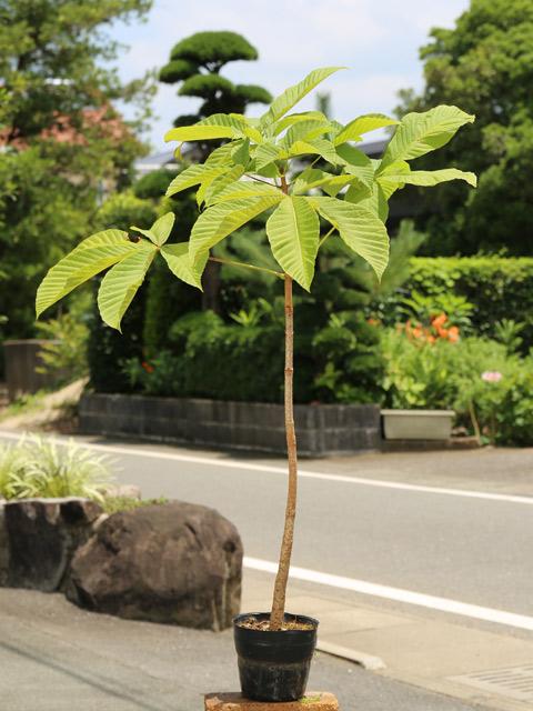トチノキ 0.8m15cmポット 10本セット 送料無料【1年間枯れ保証】【街路樹&公園樹】