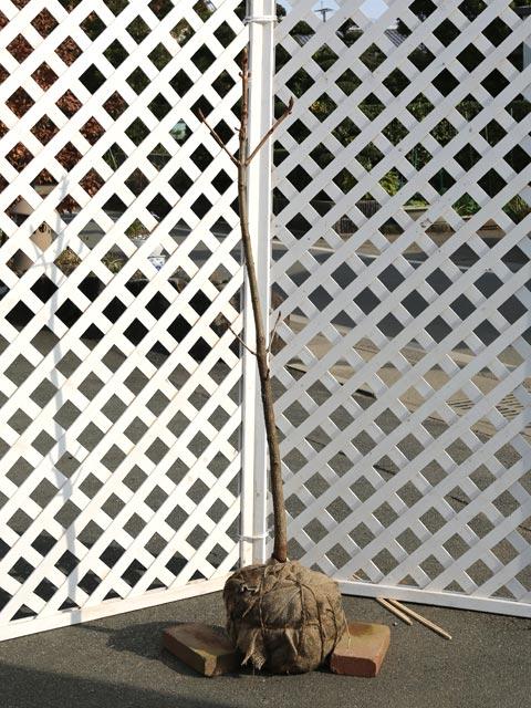 【1年間枯れ保証】【街路樹&公園樹】トチノキ 1.2m露地 2本セット 送料無料