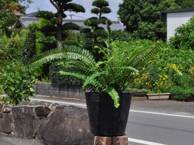 タマシダ 15cmポット 8本セット 送料無料【1年間枯れ保証】【下草】