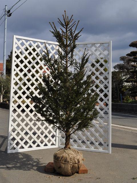 ドイツトウヒ 1.5m露地 1本【1年間枯れ保証】【シンボルツリー常緑】