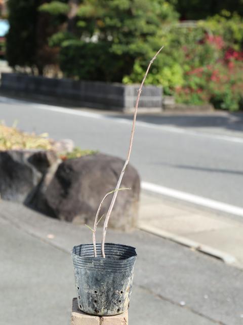 ツリバナ 0.5m10.5cmポット 6本セット 送料無料【1年間枯れ保証】【山林苗木】