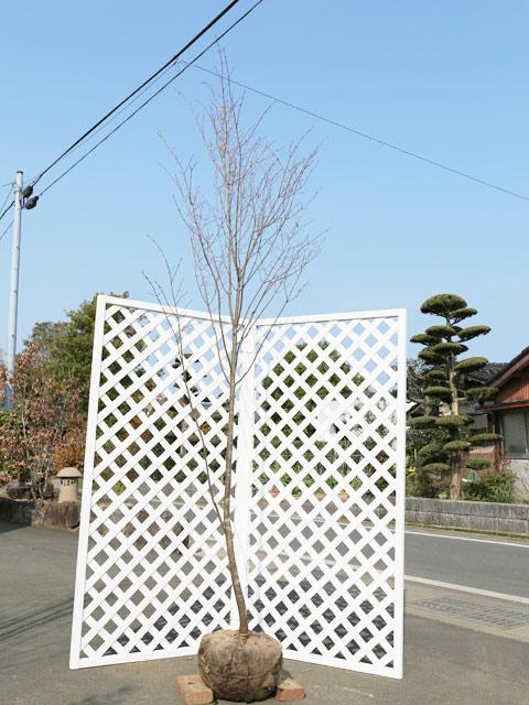 ツリバナ単木 2.5m露地 2本セット【1年間枯れ保証】【雑木】【配達指定不可/大型商品】