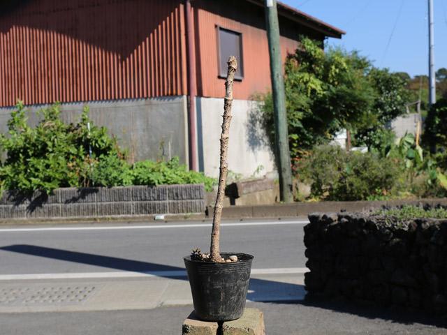 タラノキ 10.5cmポット 4本セット 送料無料【1年間枯れ保証】【山野草】