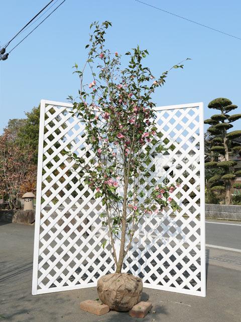 剛健で花つきがよい ツバキ/ミナトノハナ 2.0m露地 2本セット【1年間枯れ保証】【シンボルツリー常緑】