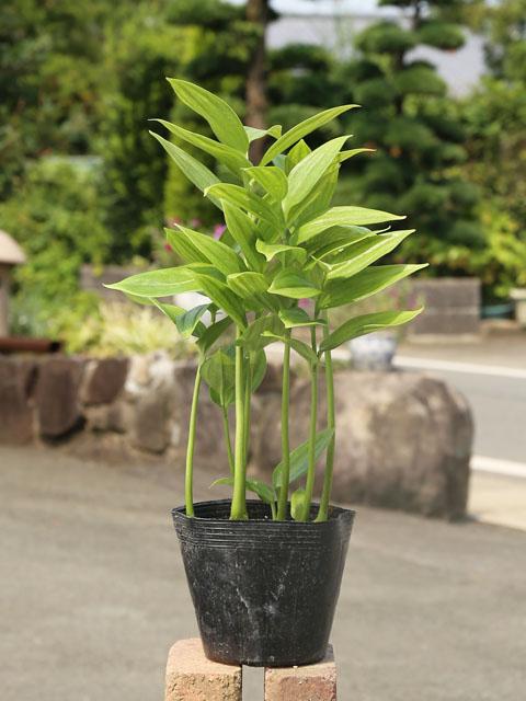 1年中葉がついている常緑品種 トキワナルコユリ 12cmポット 5本セット 山野草 送料無料 定番の人気シリーズPOINT(ポイント)入荷 1年間枯れ保証 推奨