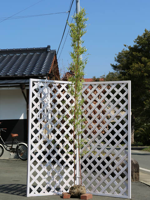 タケ/ベニカンチク 1.7m露地 1本【1年間枯れ保証】【竹類】