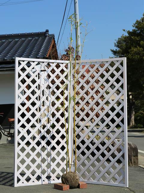 タケ/ホウライチク 2.0m露地 2本セット【1年間枯れ保証】【竹類】【配達指定不可/大型商品】