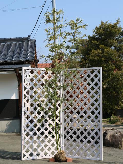【1年間枯れ保証】【竹類】タケ/ホウライチク 2.5m露地 1本