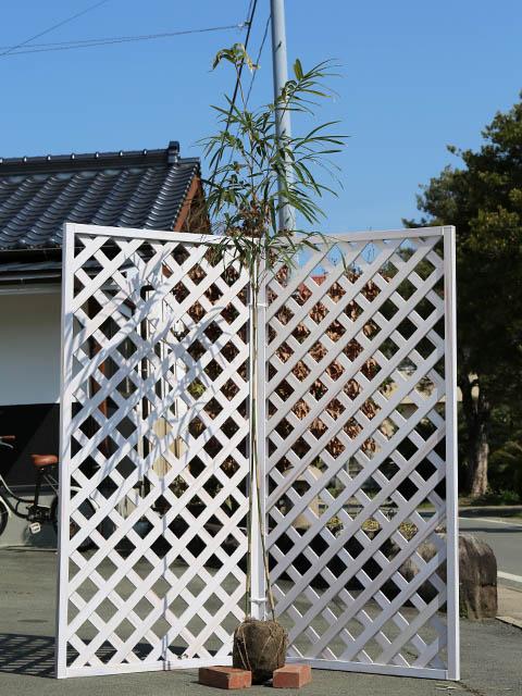 タケ/メダケ 1.7m露地 1本【1年間枯れ保証】【竹類】