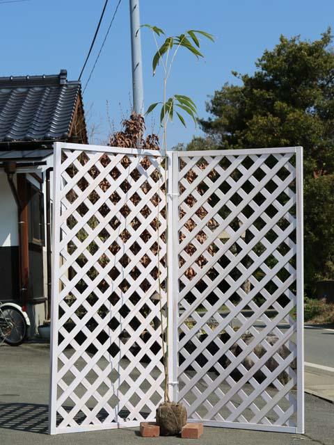 タケ/ヤダケ 1.7m露地 2本セット 送料無料【1年間枯れ保証】【竹類】