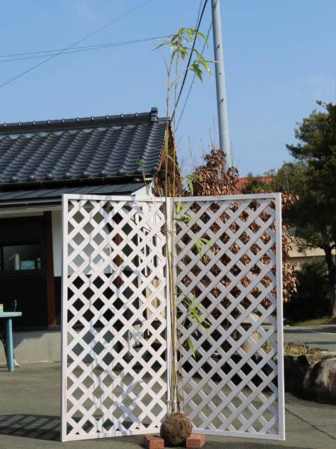 タケ/ヤダケ 2.3m露地 2本セット【1年間枯れ保証】【竹類】【配達指定不可/大型商品】