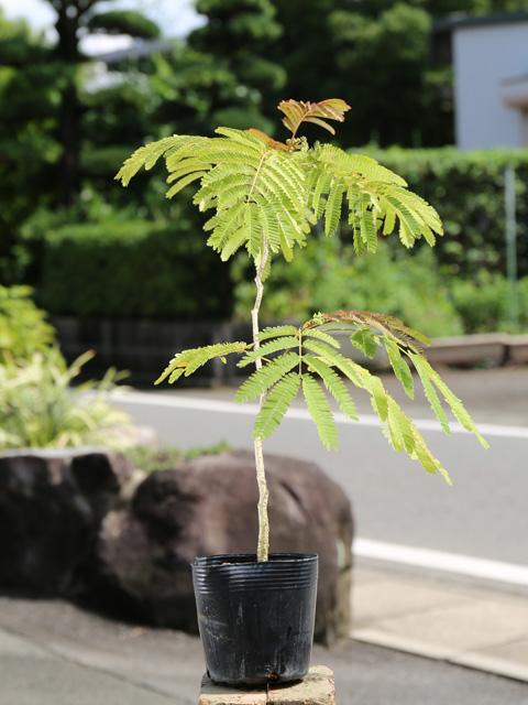ネムノキ 0.7m10.5cmポット 12本セット 送料無料【1年間枯れ保証】【夏に花が咲く木】