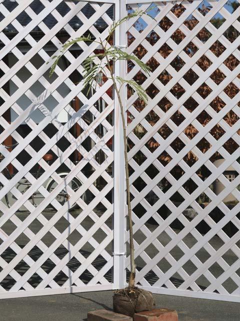ネムノキ 1.2m露地 2本セット 送料無料【1年間枯れ保証】【夏に花が咲く木】