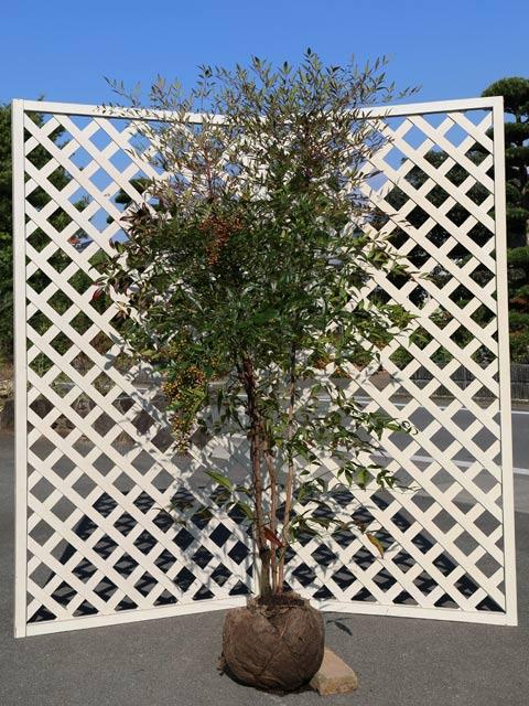 幸運を呼ぶ ナンテン 1.5m露地 縁起木 年間定番 1本 1年間枯れ保証 好評