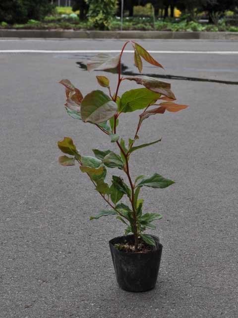 ナツツバキ 0.5m10.5cmポット 8本セット 送料無料【1年間枯れ保証】【街路樹&公園樹】