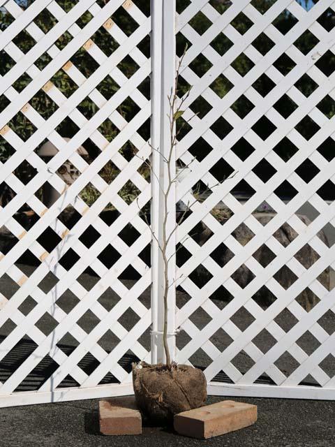 ナツツバキ単木 0.8m露地 3本セット 送料無料【1年間枯れ保証】【街路樹&公園樹】