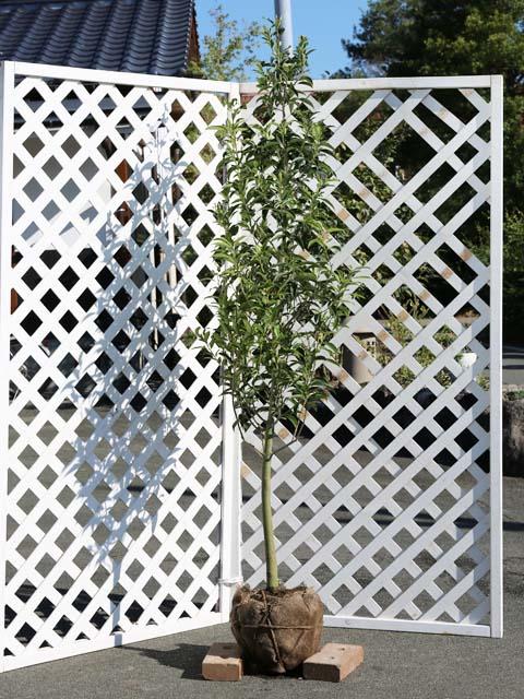 ナナミノキ単木 1.5m露地 2本セット 送料無料【1年間枯れ保証】【街路樹&公園樹】