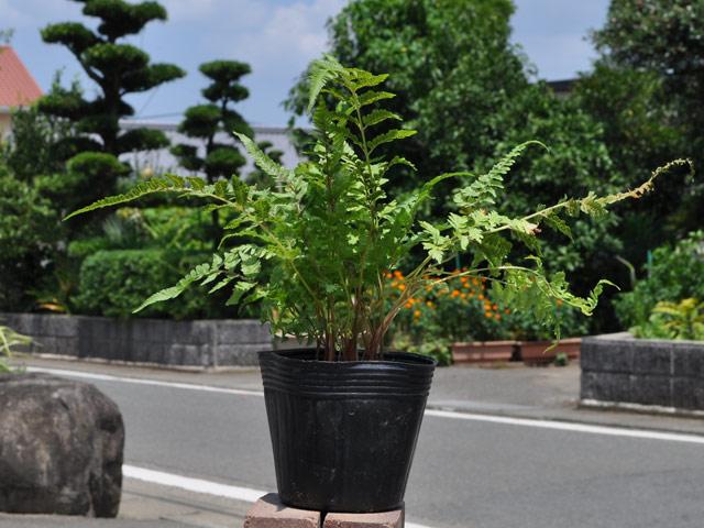 ニシキシダ 12cmポット 10本セット 送料無料【1年間枯れ保証】【山野草】