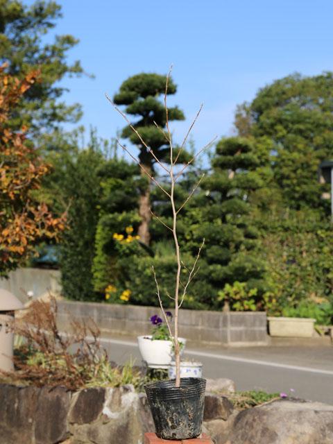 ナツツバキ/ヨアケマエ 0.5m10.5cmポット 8本セット 送料無料【1年間枯れ保証】【街路樹&公園樹】