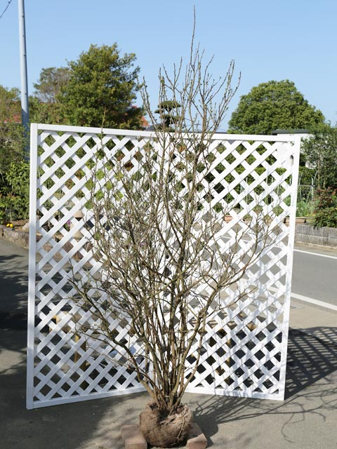 ニオイバンマツリ 1.2m露地 1本【1年間枯れ保証】【春に花が咲く木】