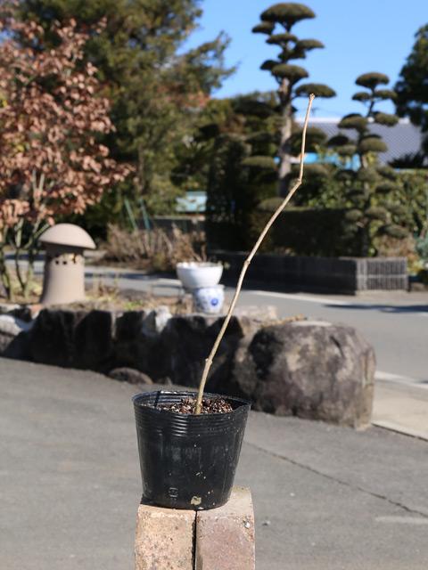 ナツロウバイ 10.5cmポット 12本セット 送料無料【1年間枯れ保証】【春に花が咲く木】