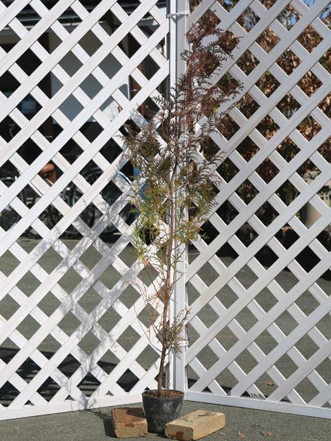 ヒノキ 1.5m15cmポット 8本セット【1年間枯れ保証】【生垣樹木】
