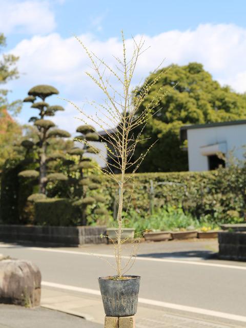 【1年間枯れ保証】【生垣樹木】プリペット 0.8m15cmポット 16本セット 送料無料