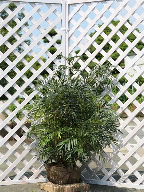 ヒイラギナンテン/マホニアコンフューサ 1.0m露地 2本セット 送料無料【1年間枯れ保証】【葉や形を楽しむ木】