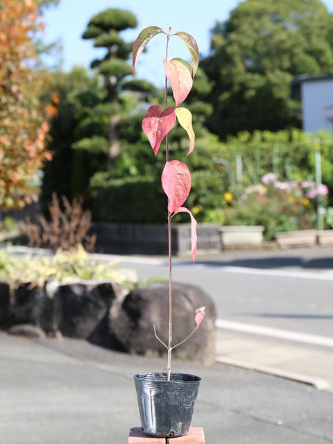 ハナミズキ/実生 0.5m10.5cmポット 10本セット 送料無料【1年間枯れ保証】【街路樹&公園樹】