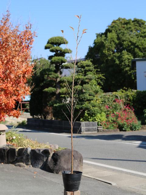 ヒメシャラ 1.2m15cmポット 4本セット【1年間枯れ保証】【街路樹&公園樹】