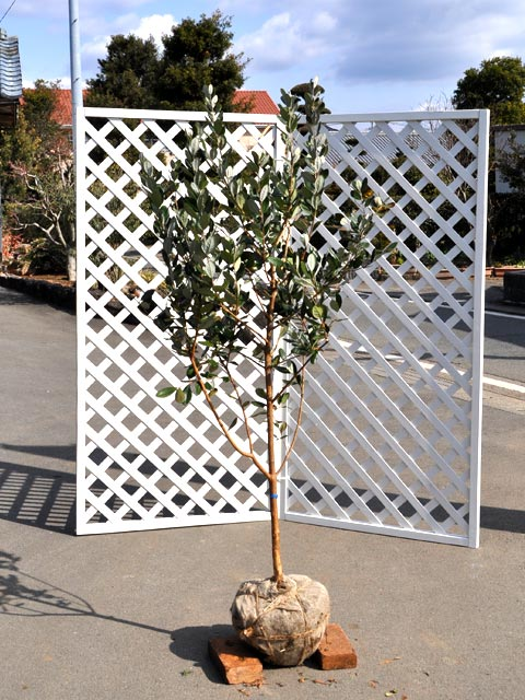 フェイジョア 1.2m露地 1本【1年間枯れ保証】【葉や形を楽しむ木】