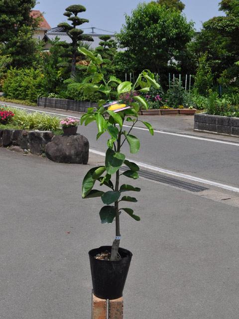 ハッサク 15cmポット  3本セット 送料無料【1年間枯れ保証】【春・夏に収穫する果樹】