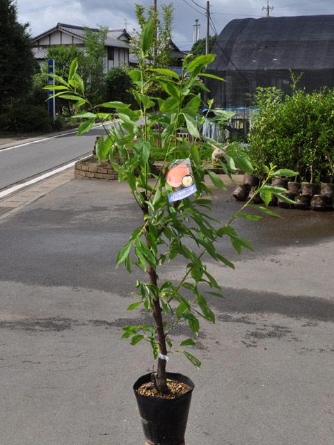 季属植物/圣安娜罗莎15cm暖水瓶