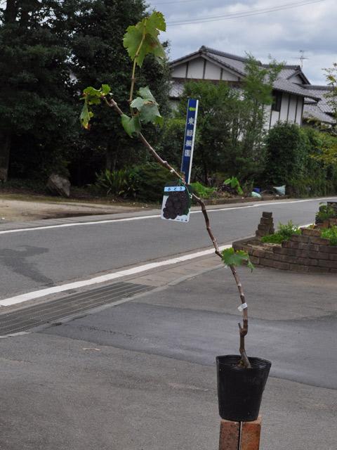 【1年間枯れ保証】【秋に収穫する果樹】ブドウ/巨峰 15cmポット  3本セット 送料無料