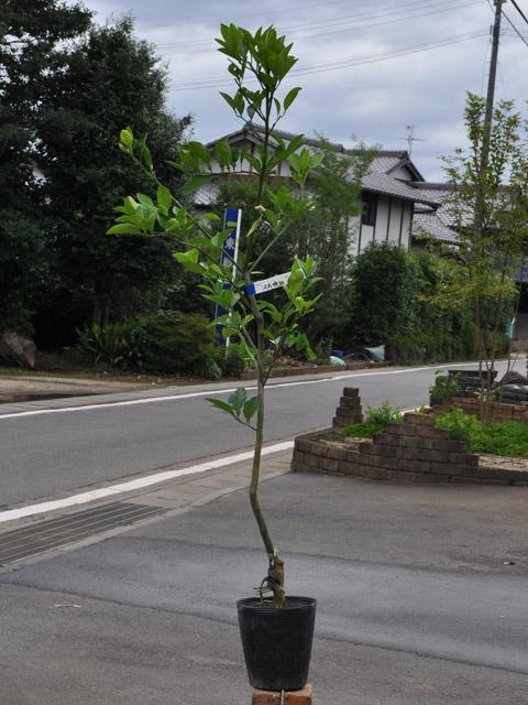 【1年間枯れ保証】【冬に収穫する果樹】ブンタン/河内晩柑 15cmポット  3本セット 送料無料