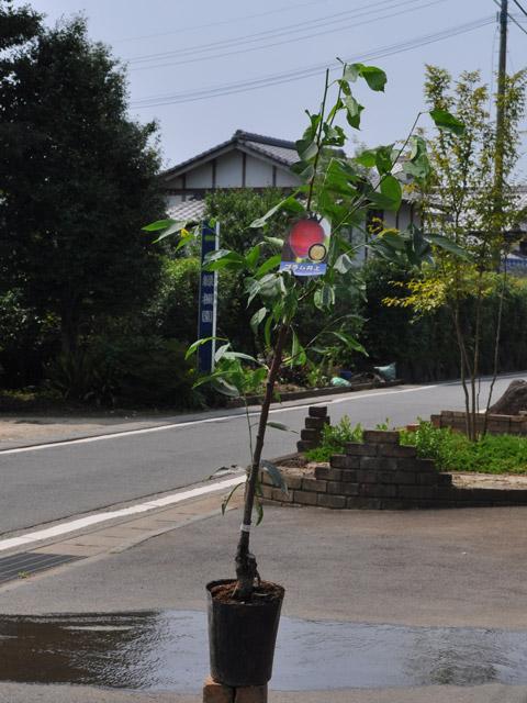 【1年間枯れ保証】【春・夏に収穫する果樹】プラム/井上 15cmポット  3本セット 送料無料