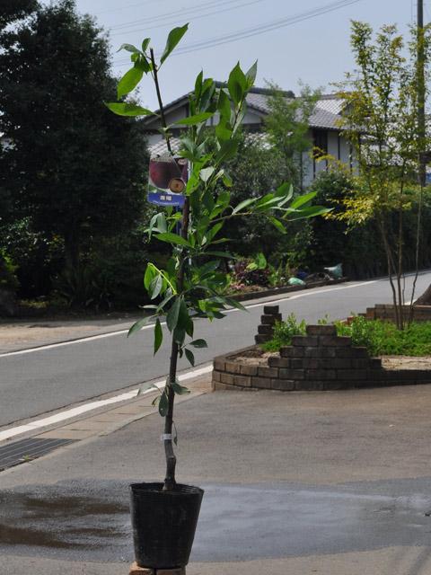 【1年間枯れ保証】【春・夏に収穫する果樹】プラム/貴陽 15cmポット  3本セット 送料無料