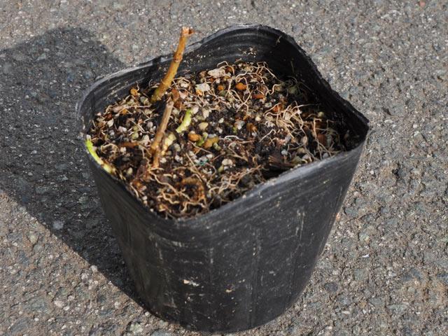 秋の七草 在庫一掃売り切りセール フジバカマ 9.0cmポット 1本 1年間枯れ保証 山野草 半額