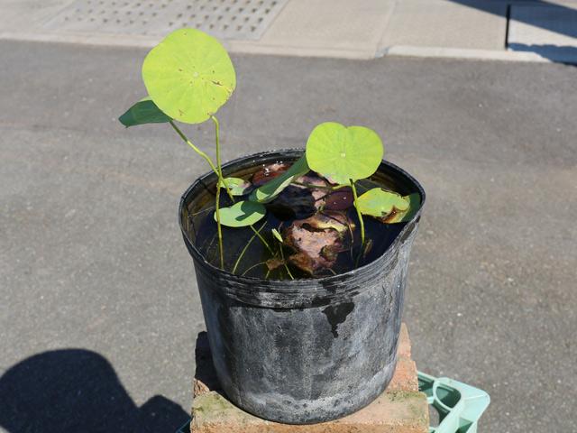 ヒメハス/赤 24cmポット 2本セット 送料無料【1年間枯れ保証】【水生植物】