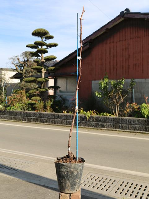 ブドウ/ハニービーナス 15cmポット  3本セット 送料無料【1年間枯れ保証】【秋に収穫する果樹】