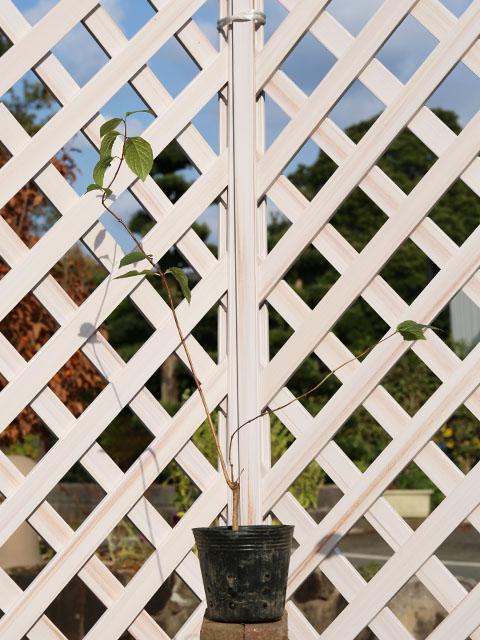 【1年間枯れ保証】【春に花が咲く木】バイカウツギ 0.5m12cmポット 6本セット 送料無料