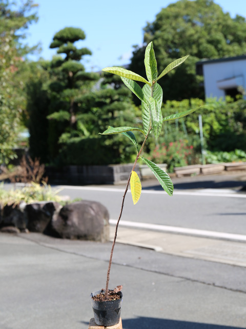 ビワ/実生 0.7m10.5cmポット 8本セット 送料無料【1年間枯れ保証】【街路樹&公園樹】