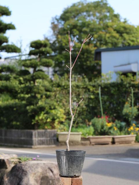 ハナミズキ/赤花 0.3m13.5cmポット 3本セット 送料無料【1年間枯れ保証】【街路樹&公園樹】
