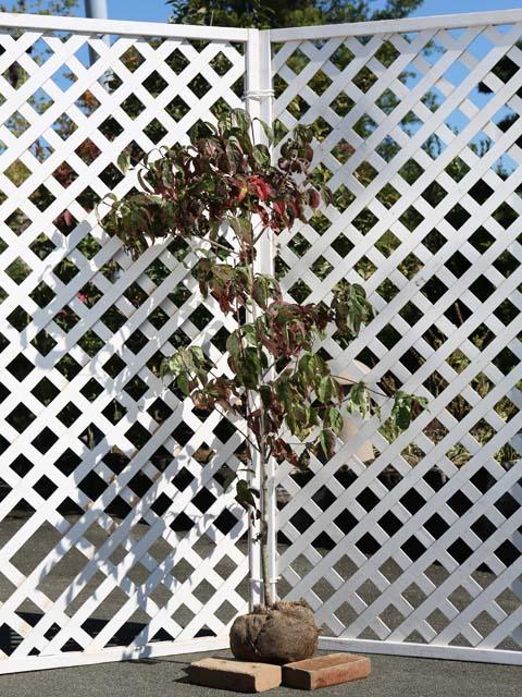 ハナミズキ/白花単木 1.2m露地 1本【1年間枯れ保証】【街路樹&公園樹】