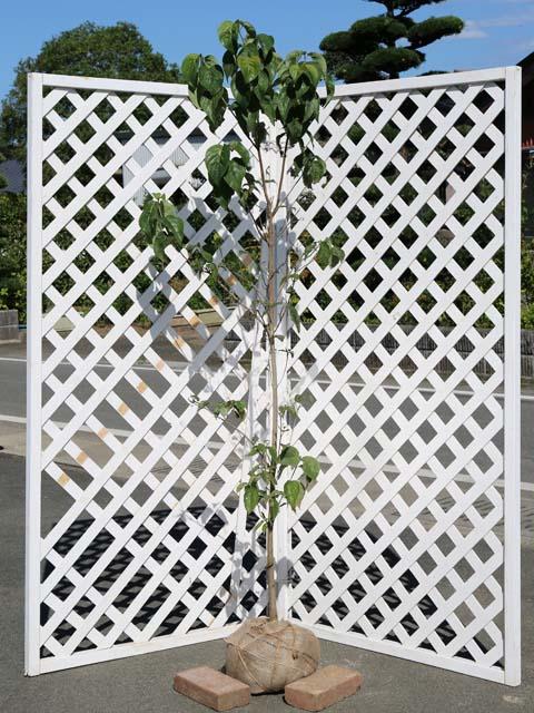 直立性で花がきれい ハナミズキ 白花単木 1.5m露地 1本 永遠の定番モデル 期間限定送料無料 公園樹 街路樹 1年間枯れ保証