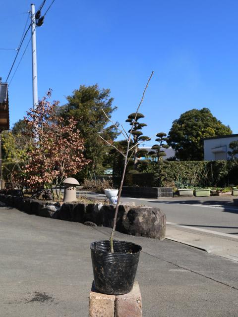 フウリンウメモドキ 0.3m 10本セット 送料無料【1年間枯れ保証】【葉や形を楽しむ木】