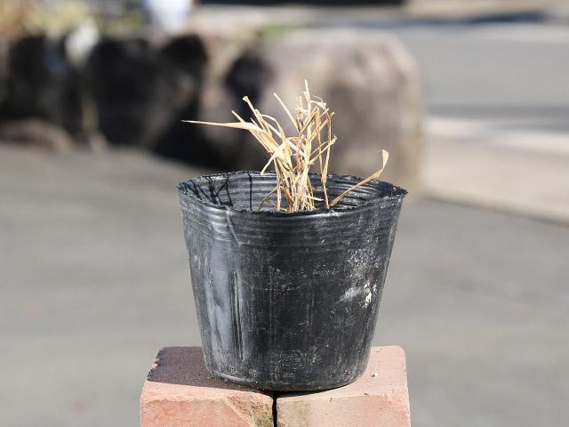 【1年間枯れ保証】【山野草】オウゴンフウチソウ 10.5cmポット 8本セット 送料無料