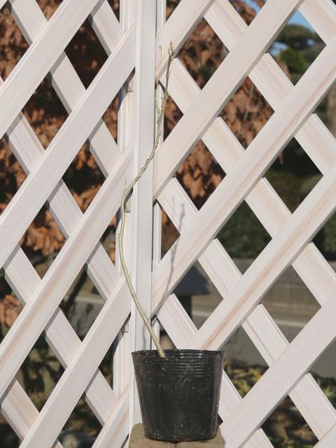 フジ/白花 10.5cmポット 10本セット 送料無料【1年間枯れ保証】【つる性】