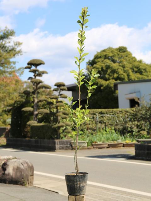 マサキ 1.0m15cmポット 12本セット 送料無料【1年間枯れ保証】【生垣樹木】